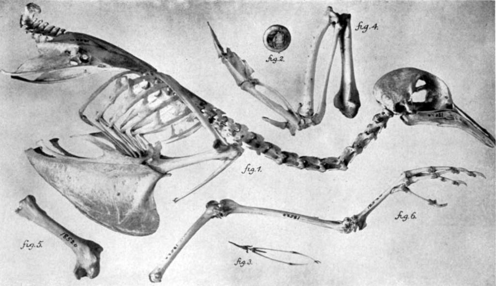 Passenger_Pigeon_skeleton