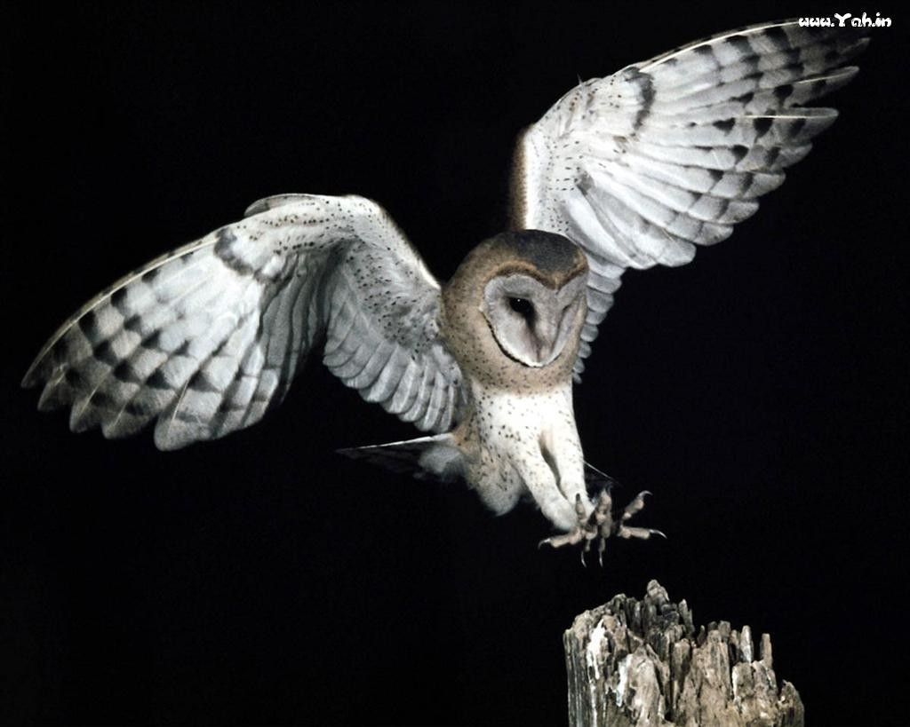 flying_owl_5019